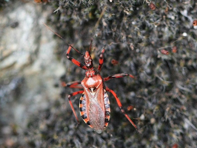 Rhynocoris sp.